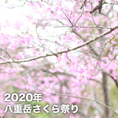 もとぶ八重岳桜まつり(2020年)
