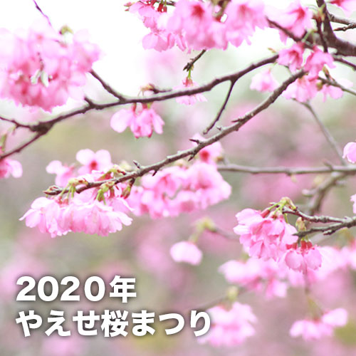 やえせ桜まつり(2020年)